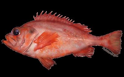 acadian-redfish