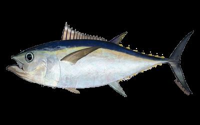 atlantic-bigeye-tuna