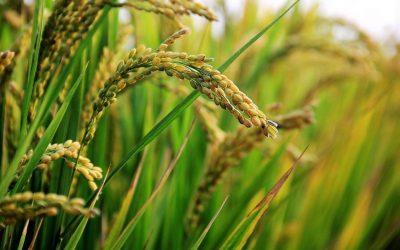 in rice field, ear of rice, rice-2679153.jpg